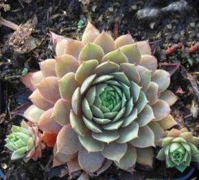 Dachwurz Ockerwurz - Sempervivum cultorum