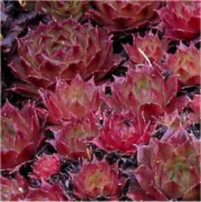 Dachwurz Red Delta - Sempervivum cultorum