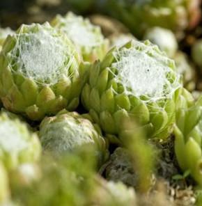 Dachwurz Alpha - Sempervivum arachnoideum