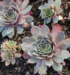 Dachwurz Coronet - Sempervivum cultorum
