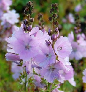 Prärie Malve Elsie Heugh - Sidalcea malviflora