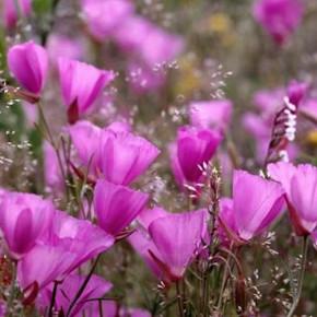 Prärie Malve Purpetta - Sidalcea malviflora
