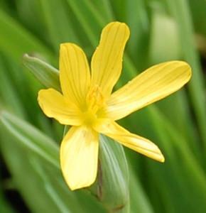 Gelbe Binsenlilie - Sisyrinchium californicum