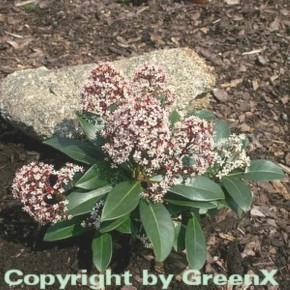 Japanische Skimmie Rubella 20-25cm - Skimmia japonica