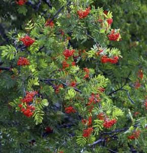 Eberesche Dodong 100-125cm - Sorbus Dodong