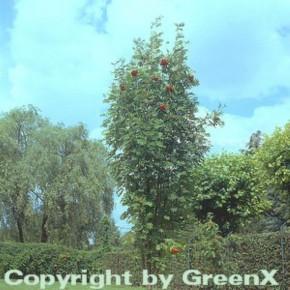 Pyramiden Eberesche 100-125cm - Sorbus aucuparia Fatigiata