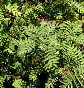 Schmuck-Eberesche 100-125cm - Sorbus decora