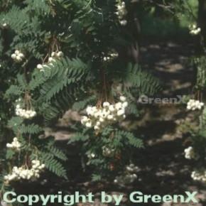 Weiße Zwerg Eberesche 100-125cm - Sorbus koehneana