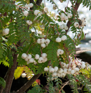 Weiße Zwerg Eberesche 125-150cm - Sorbus koehneana