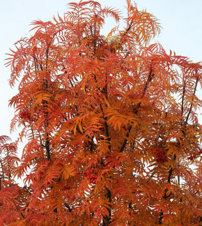 Hochstamm Mehlbeere 100-125cm - Sorbus wilfordii