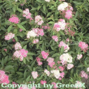 10x Zwergspiere Shirobana 15-20cm - Spiraea japonica
