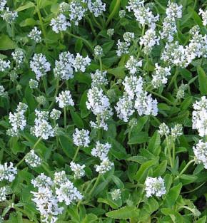 Großblumiger Ziest Morning Blush - Stachys grandiflora
