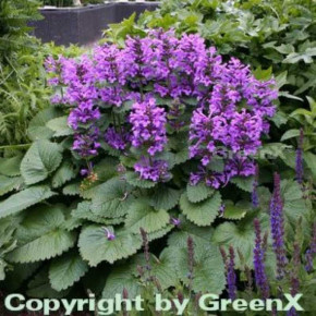 Großblumiger Ziest - Stachys grandiflora