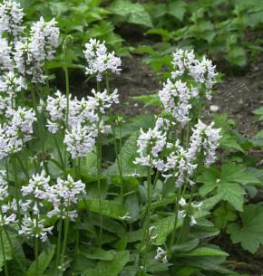 Weißer Ziest - Stachys officinalis Alba