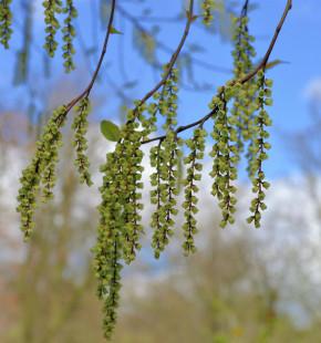 Chinesischer Perlschweif 80-100cm - Stachyurus chinensis