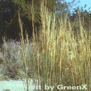Büschelhaargras - Stipa capillata