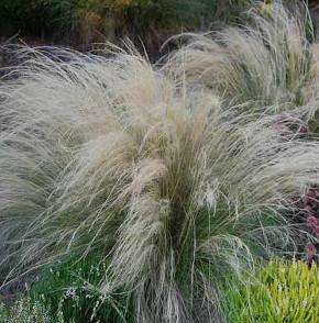Engelshaargras - Stipa tenuissima