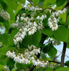 Japanischer Schneeglöckchenbaum Fragant Fountain 80-100cm - Styrax japonica