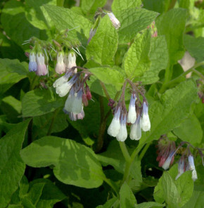 Kaukasus Beinwell Hidcote Blue - Symphytum grandiflorum