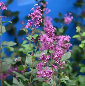 Edelflieder Bloomerang® Dark Purple 30-40cm - Syringa