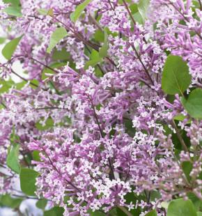 Zwergflieder Flowerfesta® Purpur 80-100cm - Syringa