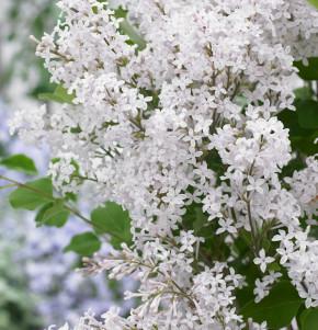 Zwergflieder Flowerfesta®White 30-40cm - Syringa