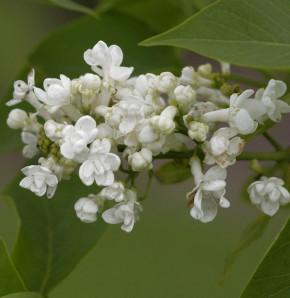 Edelflieder Angel White - Kircher-Collection 30-40cm - Syringa hyacinthiflora