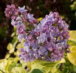Edelflieder Aucubaefolia - Kircher-Collection 20-30cm - Syringa vulgaris