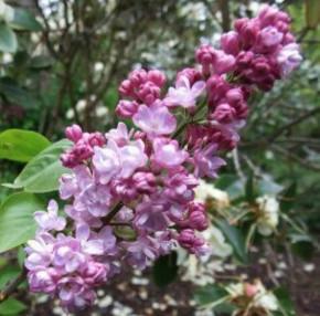 Edelflieder Belle de Nancy 40-60cm - Syringa vulgaris