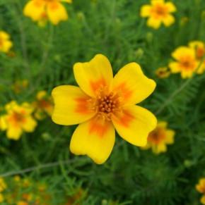 Schmalblättrige Studentenblume - Gewürztagetes - Tagetes tenuifolia