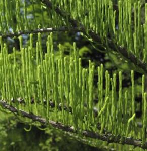 Aufsteigende Sumpfzypresse 80-100cm - Taxodium distichum