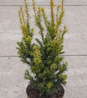 Aufrechte Goldeibe Golden Crown 20-25cm - Taxus baccata