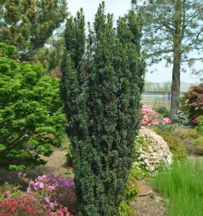 Dunkelgrüne Säuleneibe Pirat 30-40cm - Taxus baccata