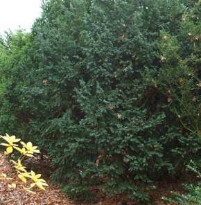 Dunkle Straucheibe Schwarzgrün 40-50cm - Taxus baccata