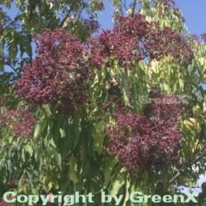 Bienenbaum - Samthaarige Stinkesche 125-150cm - Tetradium daniellii