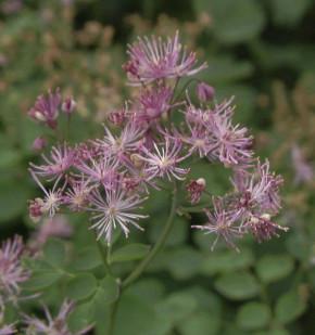 Akeleiblättrige Wiesenraute Purpureum - Thalictrum aquilegifolium