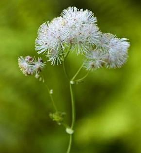 Große Wiesenraute - Thalictrum polygamum