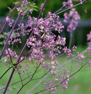 Prächtige Wiesenraute Elin - Thalictrum rochebrunianum