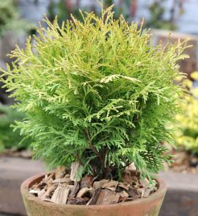 Gelber Kugel Lebensbaum Danica Aurea 25-30cm - Thuja occidentalis