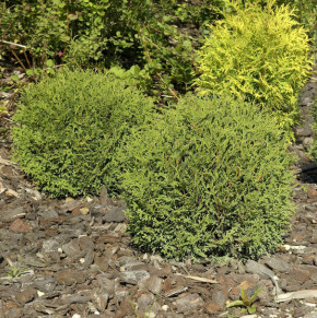 Kugel Lebensbaum Danica 25-30cm - Thuja occidentalis
