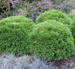 Bubikopf Lebensbaum Mr Bowling Ball 15-20cm - Thuja occidentalis