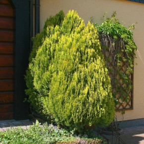 Gelber Zwerglebensbaum 20-25cm - Thuja occidentalis