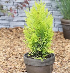 Gelber Lebensbaum 4ever Goldy 20-25cm - Thuja plicata