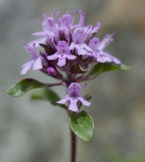 Polsterthymian Minor - Thymus praecox