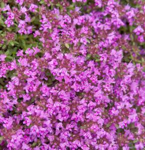 Polsterthymian Purple Beauty - großer Topf - Thymus praecox