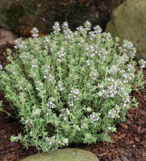 Gewürz Thymian - Thymus vulgaris