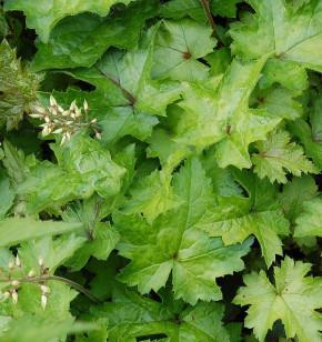 Herzblättrige Schaumblüte Eco - Tiarella cordifolia