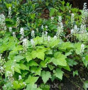 Herzblättrige Schaumblüte Moorblut - Tiarella cordifolia