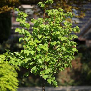Hochstamm Winter Linde Orange 80-100cm - Tilia cordata
