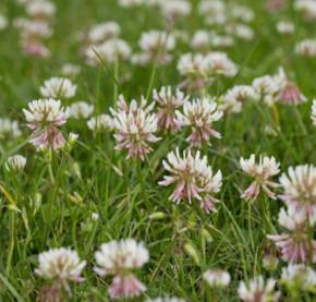 Vierblättriger Purpur-Klee - Trifolium repens